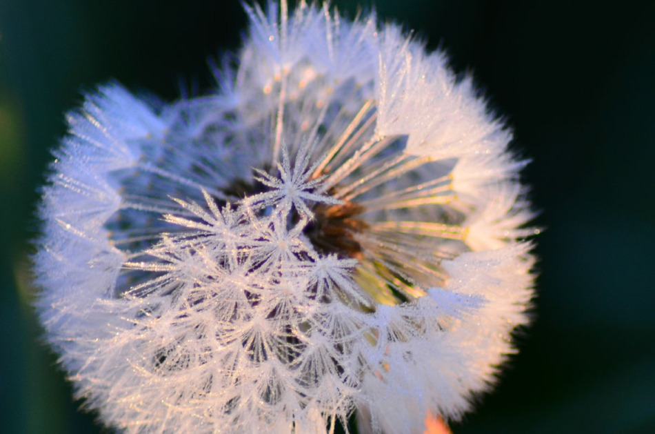 Can You see the tiny ice crystals on the dandelion seeds?