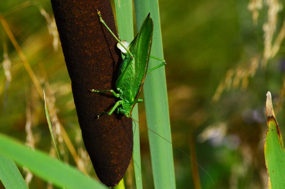 A Green Katydid. It is said that it can become 35mm (1,4 inches) long but this one is almost twice that. I wonder if it is pooping on the bulrush? It's a male so it doesn't lay eggs as I thought at first :-)