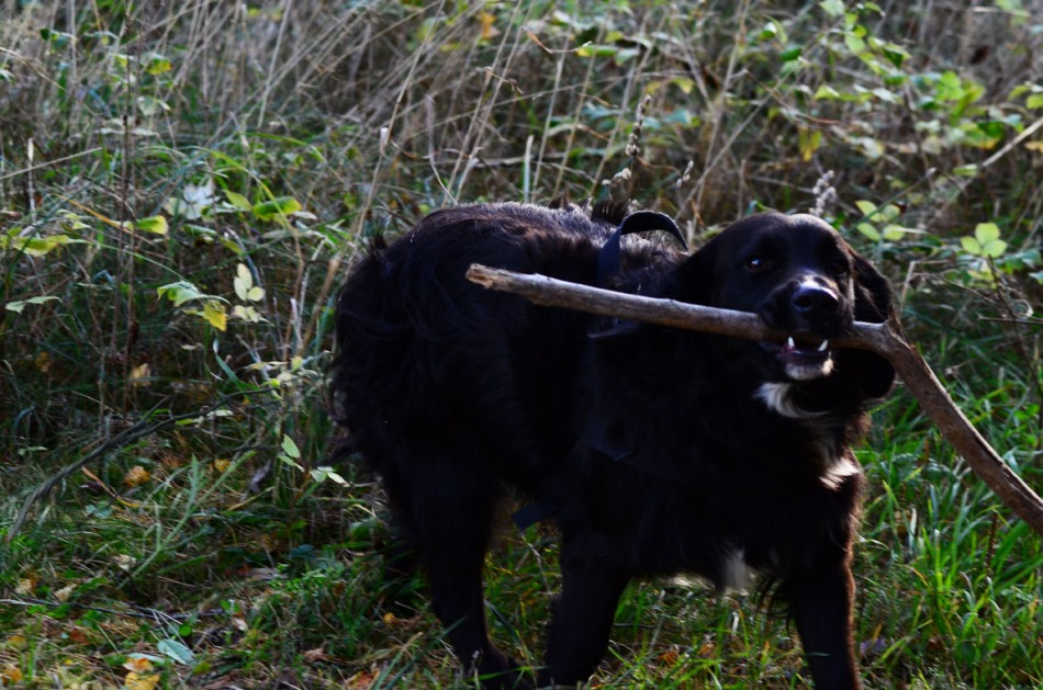 Sune did what he could to make me chase him to get that stick from him. He always did that with Orvar :-)