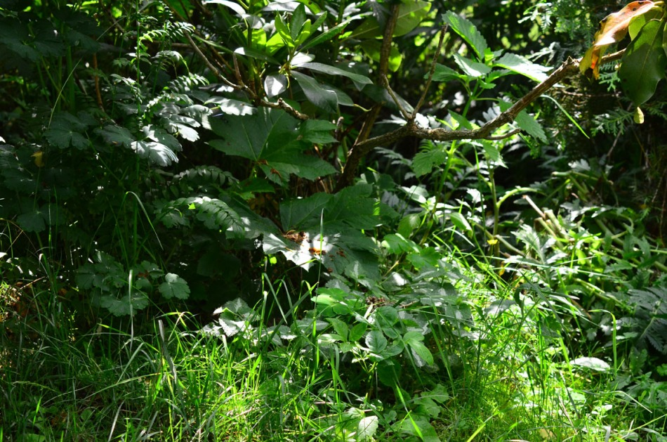 My woodland has now grown outside its area. It is very hard to see but beneath the rhododendron leafs two Aralia relatives grow now. One thorny as hell and one withot thorns. Naturally I can't remember the names on them :-)