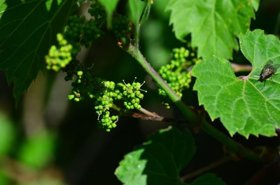 Vitis riparia, Frost or River grape. The vine is enormous now but I have one slight problem, it only creates female flowers so no grapes. That's why I'm so glad that my Amur grape vine will flower this year too, I might actually get grapes :-)