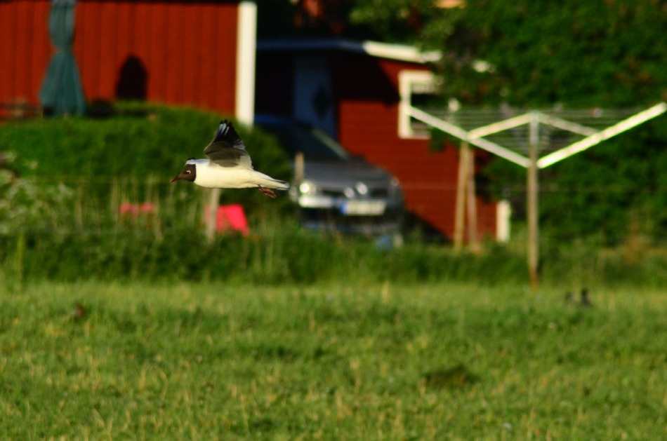 We have the biggest colony of Black-headed gull (we call them laughing gulls) in Scandinavia up in the lake. They have been coming here a lot lately and they do like to argue with the Jackdaws.